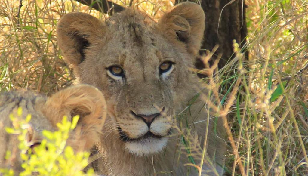 bush-school-wildlife-lion-south-africa