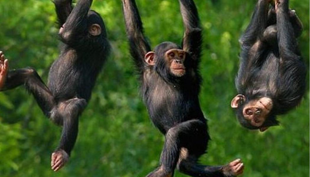 chimp-hanging-around