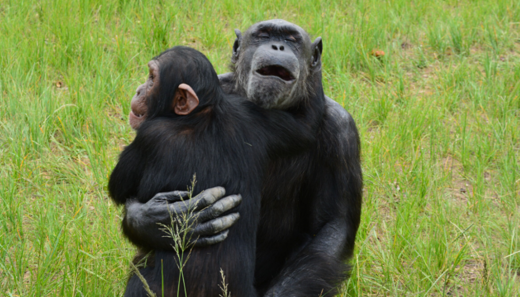 chimp-hugs