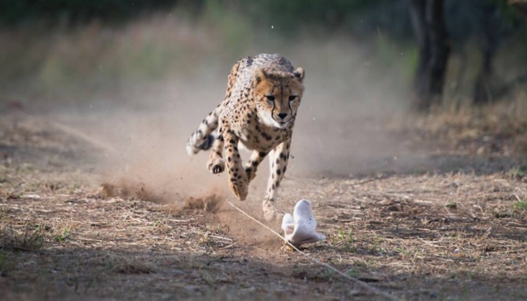 namibia-wildlife-research-cheetah