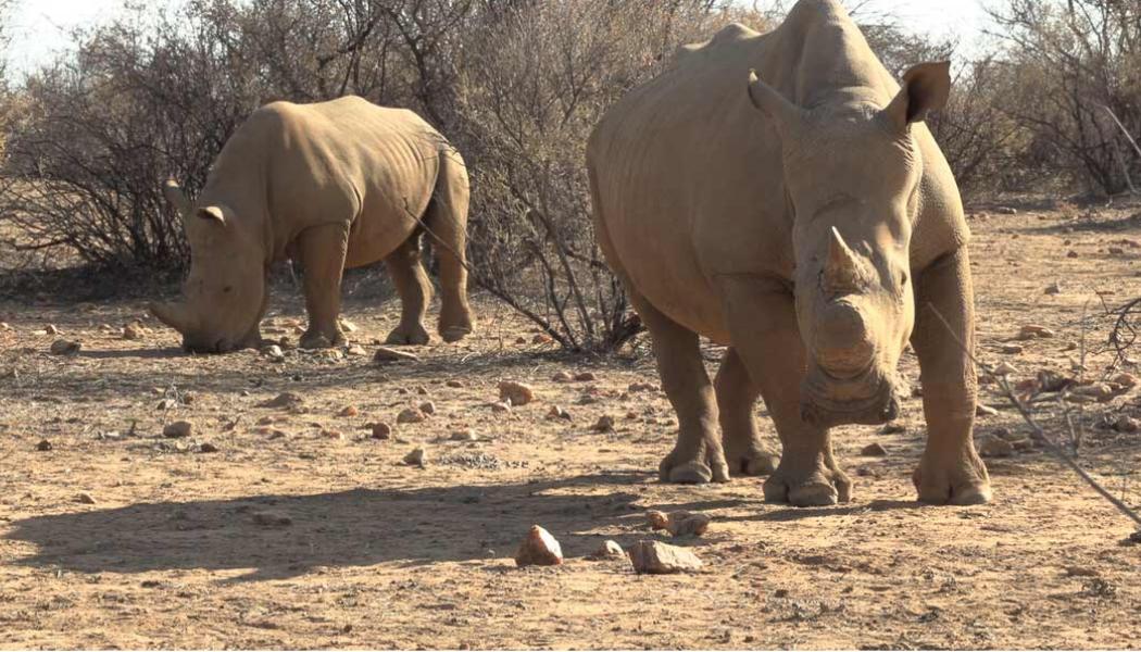 rhino-rangers-namibia-rhinos