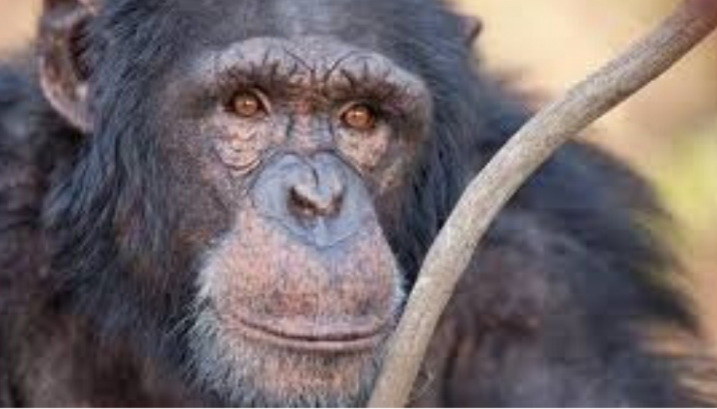 chimp-intelligent-eyes