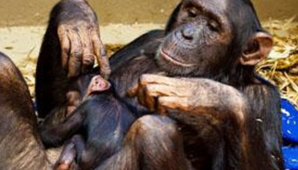 chimp-mom-and-baby