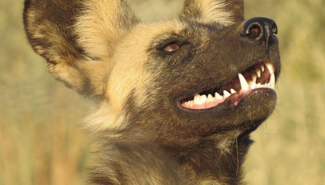 namibia-wildlife-african-wild-dog